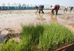 Китайцы нашли новый способ спасти планету от голода
