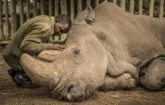 Ветеринары усыпили последнего белого носорога в мире