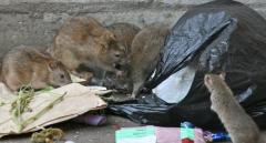 Жители центра Одессы страдают от нашествия блох и крыс
