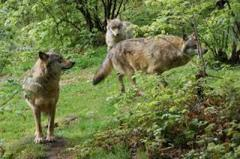 По Донецку бегают волки и лисы