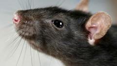 ШОК! В мариупольском супермаркете покупатели обнаружили среди продуктов огромную крысу, - ФОТОФАКТ