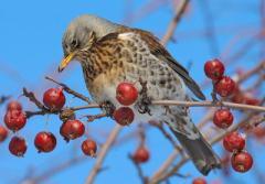 В Миннесоте пьяные птицы разучились нормально летать