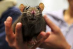 """Мышечные боли и кровь изо рта: на планете вспыхнула """"крысиная лихорадка"""""""