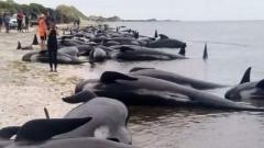 На берег Новой Зеландии выбросилось больше 140 дельфинов
