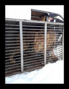 Лев-переселенец из зоопарка на Донетчине погиб от истощения