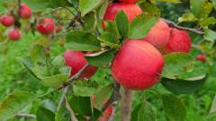 Фермеры пытаются побороть таинственную болезнь, поражающую яблони