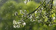 Аллергологи предупреждают о повышенной концентрации пыльцы в воздухе