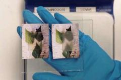 Ученые создали прозрачную древесину со свойствами стекла