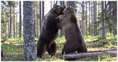 Это стоит видеть: битва двух мускулистых медведей попала на ВИДЕО