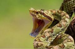 Змея укусила пьяного мужчину и сдохла