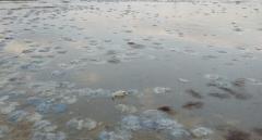 «Похоже на суп с галушками»: Экологи объяснили нашествие медуз в Херсонской области
