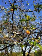 Природная аномалия: В Мариуполе алыча цветет и дает плоды одновременно