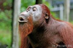 Ученые составили словарь языка орангутанов