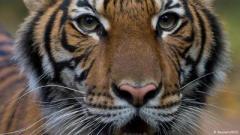 Зафиксирован первый случай заражения тигра коронавирусом