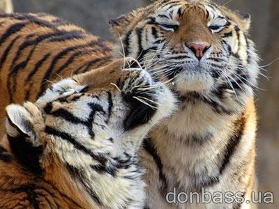 Секс с тигром