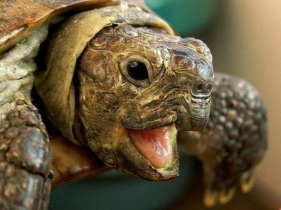 Сбежавшая от своих хозяев черепаха
