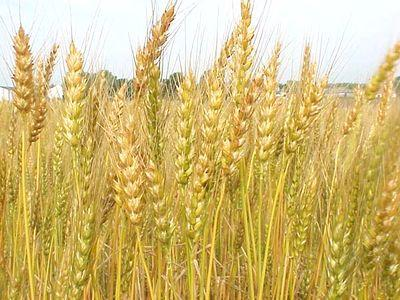 Несмотря на трудности, валовой сбор зерновых в Оренбуржье прогнозируется на уровне 3 млн.тонн