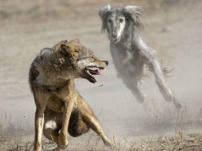 изображение волка: