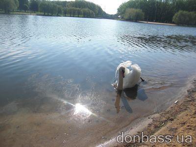 В форест парке лебеди не боятся людей