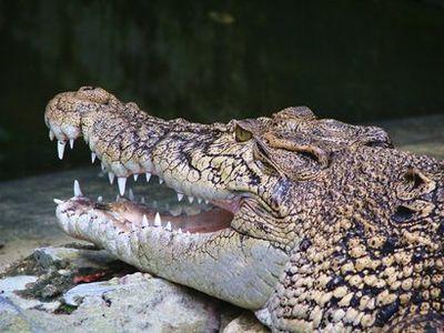 Самый кусачий крокодил попадет в Книгу рекордов Гиннесса