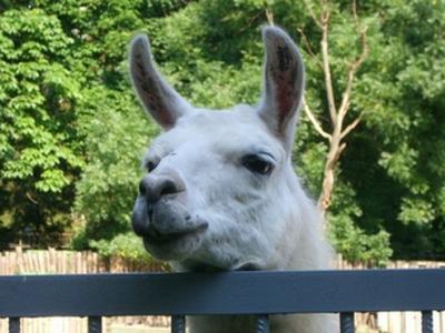 В Мариупольском зоопарке родила лама