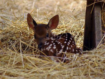 В мариупольском зоопарке родился олененок