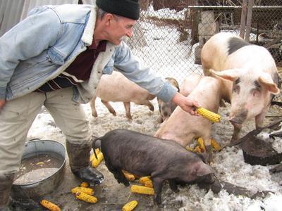 Африканская чума наступает: в Донецкой области уничтожат тысячи кабанов и свиней (ФОТО)