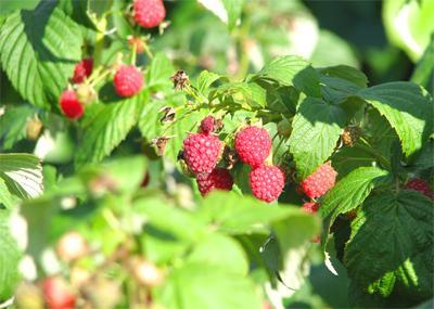 Как получить завидный урожай малины