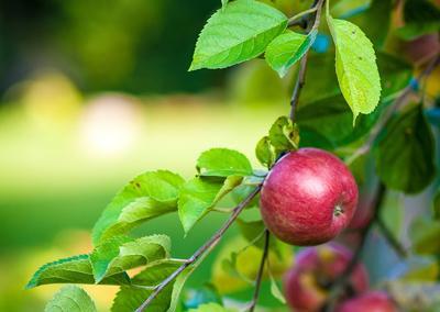 Прививаем яблоню летом: приживётся наверняка!