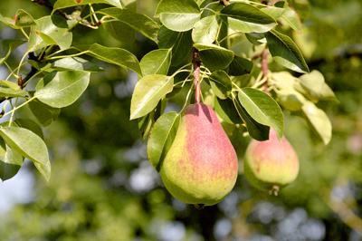 Что нужно груше для плодоношения