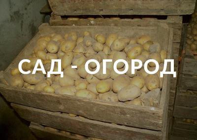 Когда копать картофель, если «молчит» ботва
