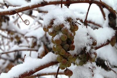 Готовим виноград к холодам