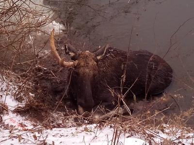 Под Харьковом спасли лося, который плыл через Северский Донец, устал и не смог выбраться на берег (ФОТО)