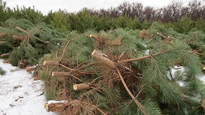 Дорога сосен-крымчанок определена: лесосека - ёлочный базар - квартира - мусорная свалка.