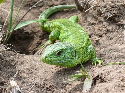 Уникальные ящерицы сорвали «стройку века» в Германии