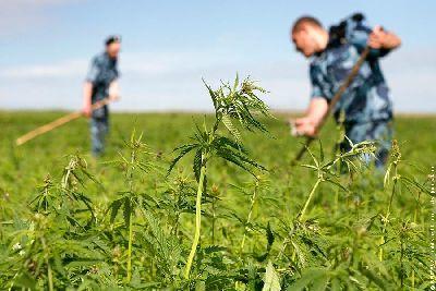 На Луганщине обнаружили 7 тысяч кустов конопли