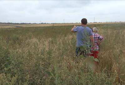 «Ничейная» пшеница в Приазовье. Почти детективная история