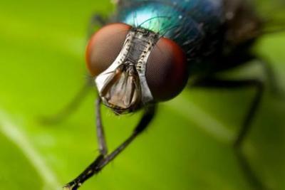 Ученые получили Нобелевскую премию благодаря мухам