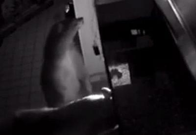 "В США три медведя совершили ""налет"" на пиццерию (ВИДЕО)"