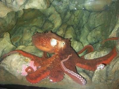 Щупальца - до трех метров: ученые обнаружили новый вид гигантских осьминогов
