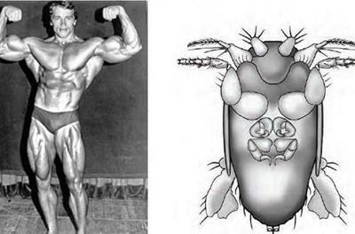 Именем Шварценеггера назвали самую маленькую в мире муху