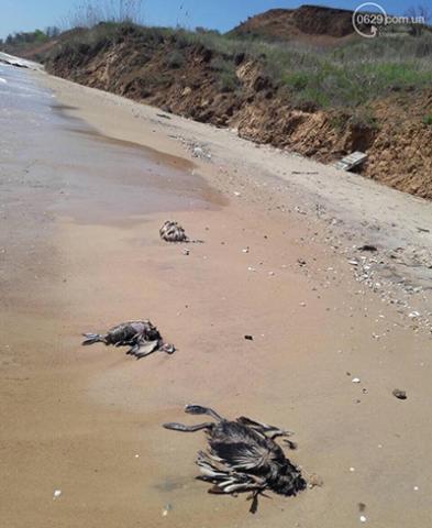 На Песчаном пляже в Мариуполе лежат десятки мертвых птиц (ВИДЕО)