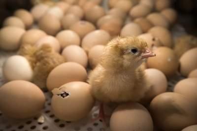 В Грузии из выброшенных протухших яиц вылупились тысячи цыплят