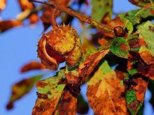 В Мариуполе активизировалась моль-мутант, пожирающая листья каштанов