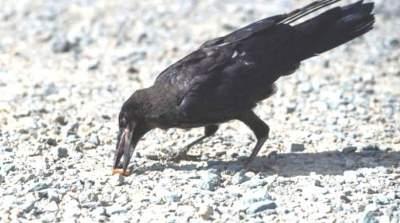 Французы научили ворон убирать мусор в парках