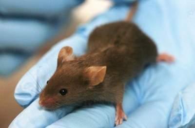 Ученым удалось остановить старение у мышей
