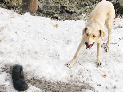Жертва сбежала. Собаке Баскервилей достался только ботинок.