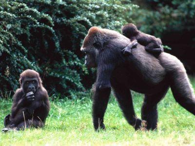 Видео секса с самцом гориллы