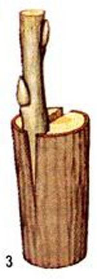 прививка деревьев до сокодвижения