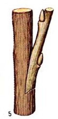 прививка деревьев в боковой разрез